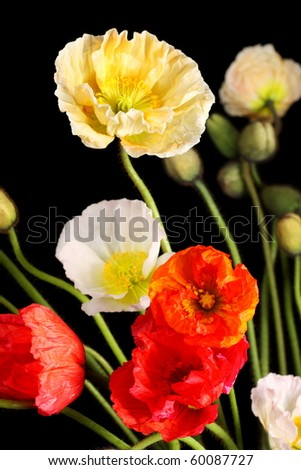 Colorful bunch of poppies on black background - stock photo