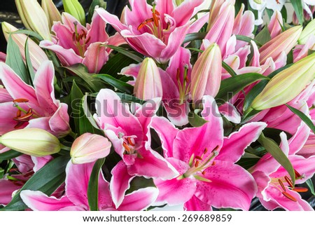 Colorful bush of purple lily flowers (Lilium) - stock photo