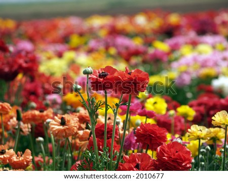 Colorful buttercups - stock photo
