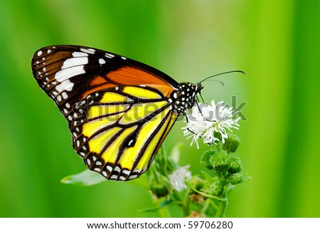 Colorful butterfly feeding on white flower - stock photo