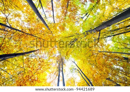 Colorful canopy of a forest with beech trees