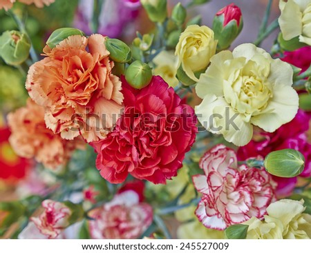 colorful carnation flowers closeup, natural background - stock photo