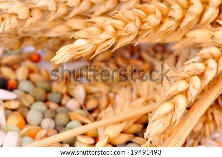 colorful cereal seeds and wheat ears