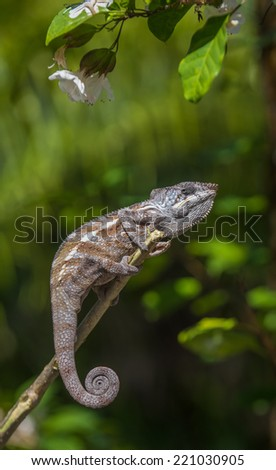 Colorful chameleon of Madagascar  - stock photo