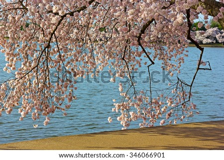 Colorful cherry tree branches close to the water of Tidal Basin. Cherry trees around the Tidal Basin in Washington DC, USA. - stock photo