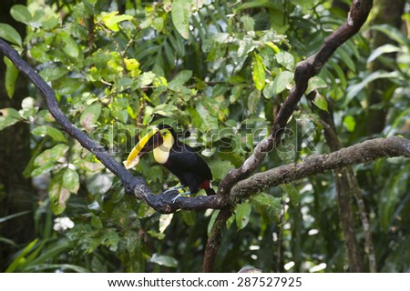 Colorful chestnut mandibiled toucan or Swainson's toucan (Ramphastos ambiguus swainsonii)sits on tree branch in Central American lowland tropical rain forest jungle.