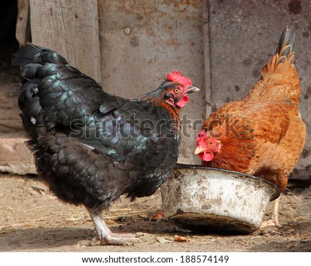 colorful chickens eating on poultry yard - stock photo