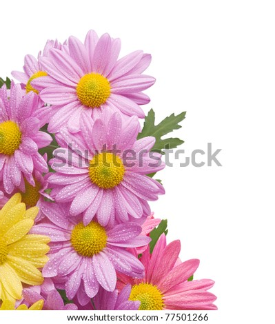 Colorful chrysanthemum bouquet flowers isolated on white background with water drops - stock photo