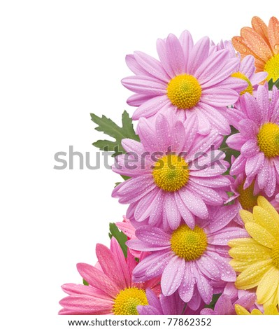 Colorful chrysanthemum bouquet flowers isolated on white background with water drops.Background added to achieve good composition. - stock photo