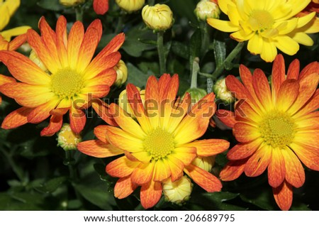 colorful chrysanthemum flowers bouquet