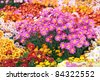 Colorful chrysanthemums growing in the garden - stock photo