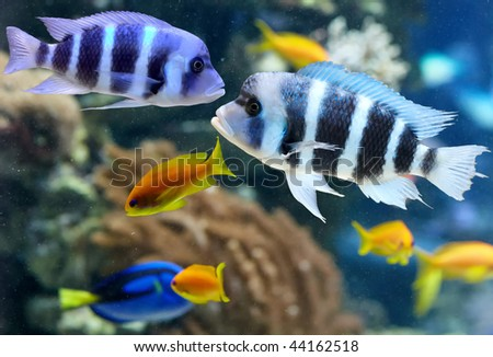 Colorful cichlid from lake malawi, Africa - stock photo