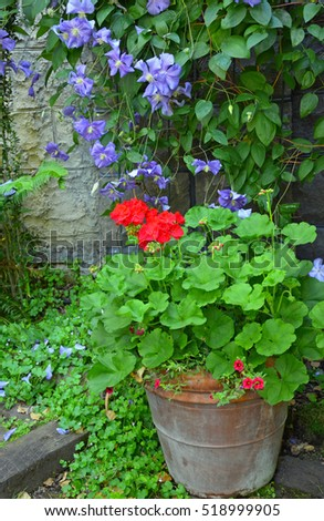 Colorful clematis and geranium garden