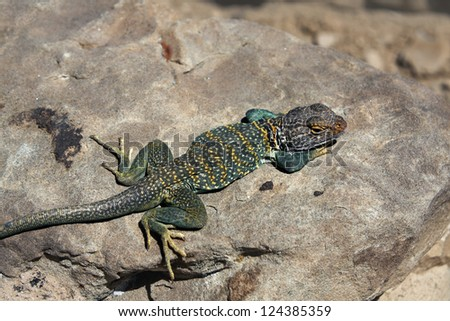 Colorful Collared lizard - seen in New Mexico - stock photo