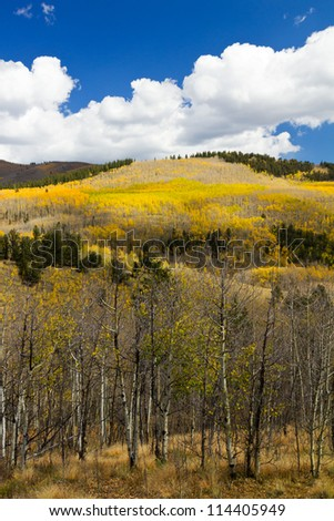 Colorful Colorado Aspen Forest in Fall - stock photo