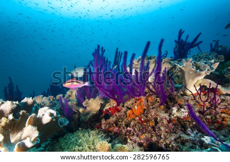 Colorful coral reef in Oman with pink goat fish and other reef fish and sponges with blue background - stock photo