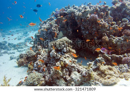 colorful coral reef with exotic fishes Anthias at the bottom of tropical sea, underwater