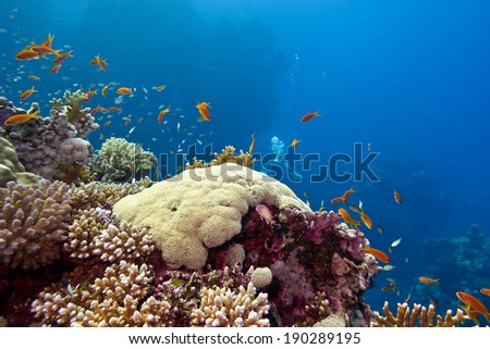 colorful coral reef with hard corals and fishes anthias at the bottom of tropical sea on blue water background - stock photo