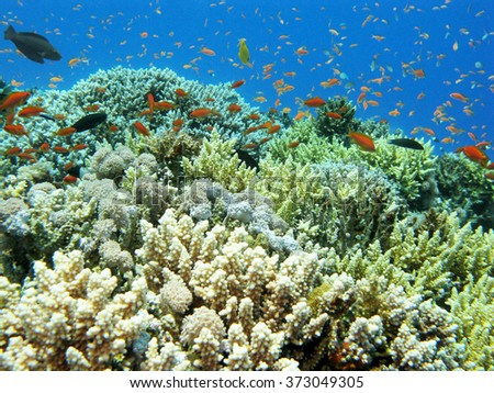 colorful coral reef with hard corals and  shoal of fishes scalefin anthias in tropical sea, underwater - stock photo