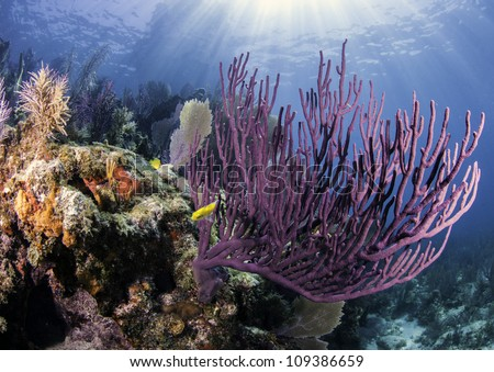 Colorful coral with blue water background and sun rays shining through the surface in Key Largo, Florida. - stock photo