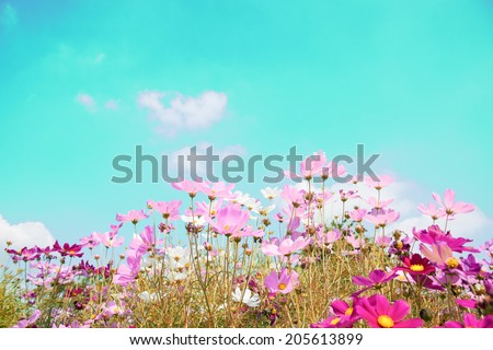 Colorful cosmos bloom in the garden - stock photo