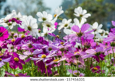 Colorful cosmos flowers - stock photo
