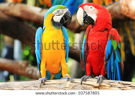 Colorful couple macaws sitting  on log. - stock photo