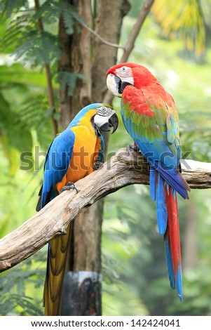 Colorful couple macaws sitting on log. - stock photo