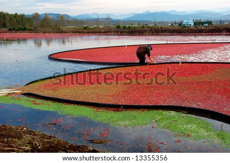 Colorful cranberry bog in harvest season - stock photo