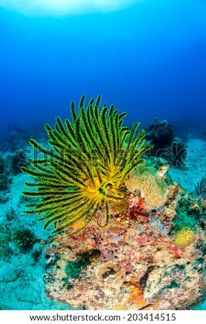 Colorful Crinoids on a tropical coral reef - stock photo