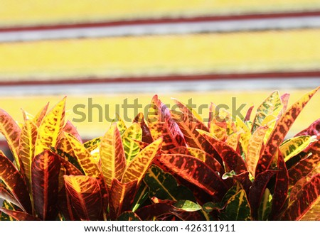 Colorful Croton Tree (Codiaeum variegatium).  - stock photo
