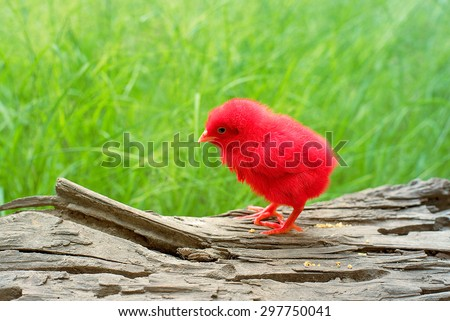 Colorful cute little baby chicken in nature.cute baby chicken in spring day.  - stock photo
