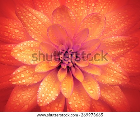 colorful dahlia flower - stock photo