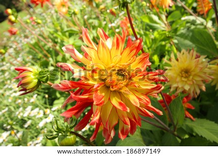Colorful dahlia flower close up