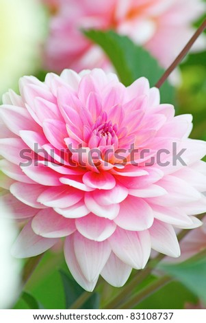 Colorful dahlia flower in the garden - stock photo