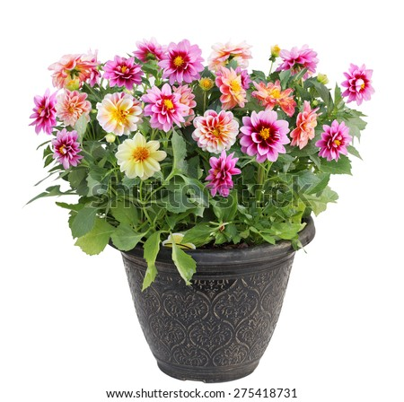 Colorful dahlia flower plant in pot isolated on white background - stock photo