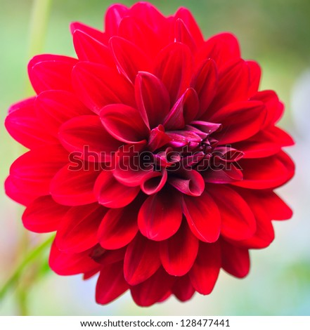 Colorful dahlia flower red - stock photo