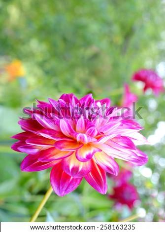 Colorful dahlia flower red, Diva Dahlia  - stock photo