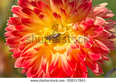 Colorful dahlia flower with bee collecting honey - stock photo