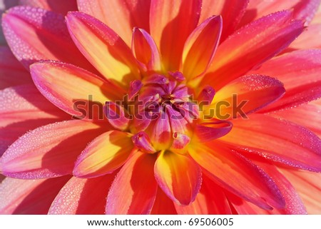 Colorful dahlia flower with morning dew drops - stock photo