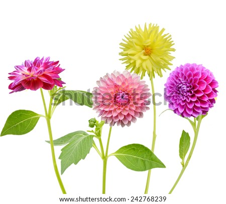 Colorful Dahlia Flowers Isolated on White Background - stock photo