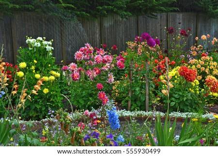 Colorful Dahlia Garden In Full Summer Bloom