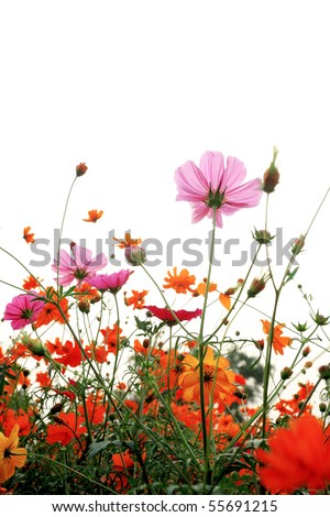 colorful daisies in grass field with white background - stock photo