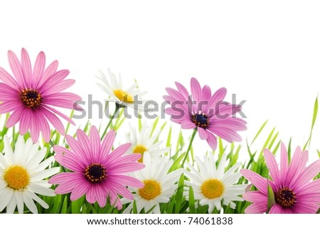 Colorful daisy flower in grass with copy space. - stock photo