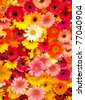 Colorful Daisy flowers - stock photo
