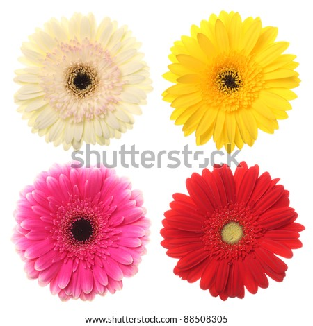Colorful daisy flowers for your designs on white