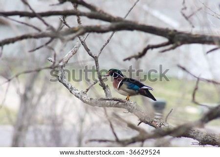 Colorful Drake Wood Duck perched in a tree.