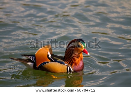 colorful duck in pond - stock photo
