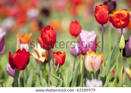 Colorful Dutch tulips in flower fields outdoor - stock photo