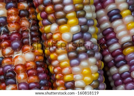 Colorful ears of variegated Indian corn with rows of multicolored kernels make a decorative autumn harvest display. - stock photo